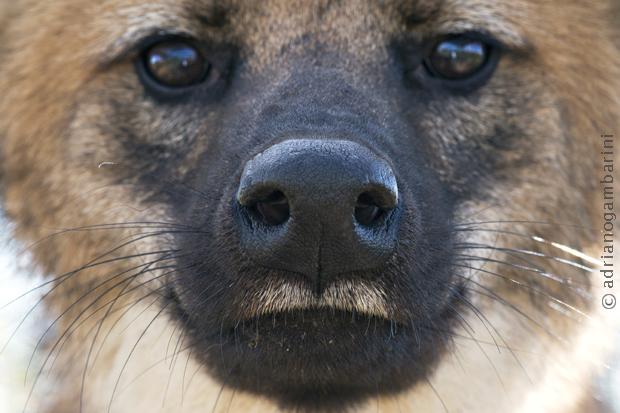 Focinho do Lobo-guará
