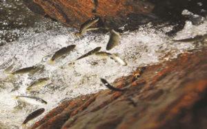 Subida dos rios - piracema