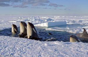 Baleia orca