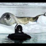Foca Leopardo com mergulhador