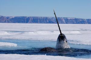 Narval no Artico