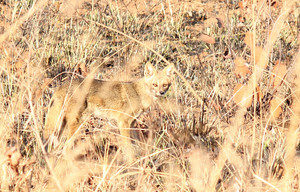 raposinha do cerrado procria com graxaim do campo no estado de são paulo