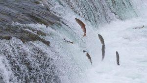 Migração do salmão