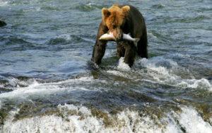 Urso se alimentando