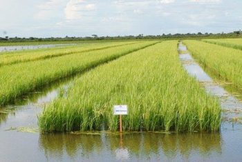 irrigação arroz