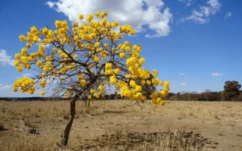 Ipês do Cerrado