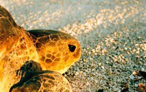 Tartaruga Chelonia