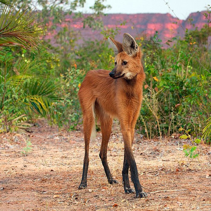 Lobo Guará - espécies ameaçadas