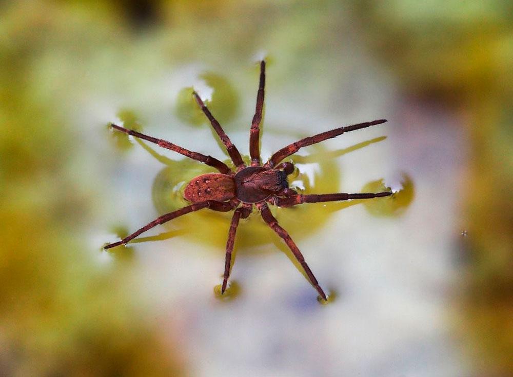 Aranha na superfície da água