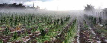 Plantação danificada pela chuva de granizo