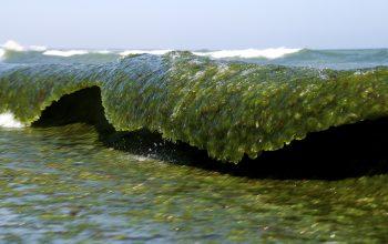 Algas na espuma do mar