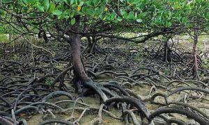 foto de mangue