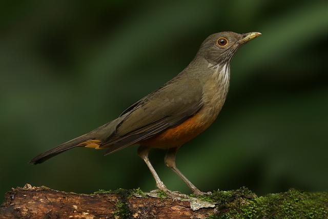 Aves Nativas: sabiás laranjeira