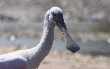 Colhereiro – A ave aquática rosa