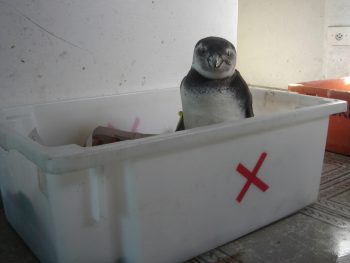 pinguinzinho