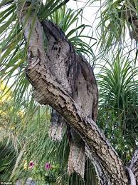 camuflagem da ave no tronco