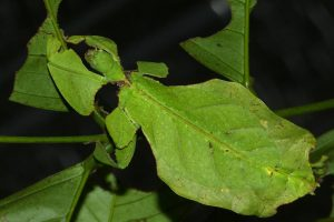 inseto imitando folha camuflagem
